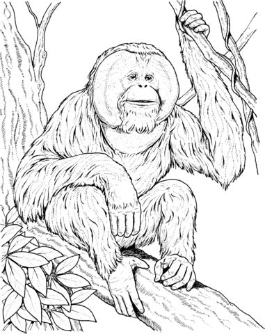 Orangutan Coloring Pages orangutan sits on a branch coloring page supercoloring
