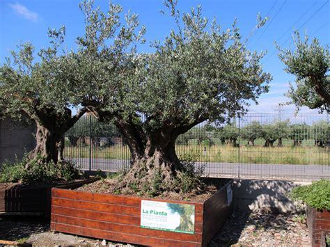 prezzi ulivi da giardino vendita ulivi secolari prezzo fioriera con grigliato
