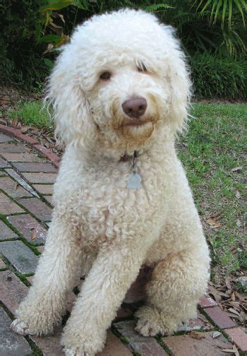 mini doodles hereford 27 best images about labradoodles on poodles