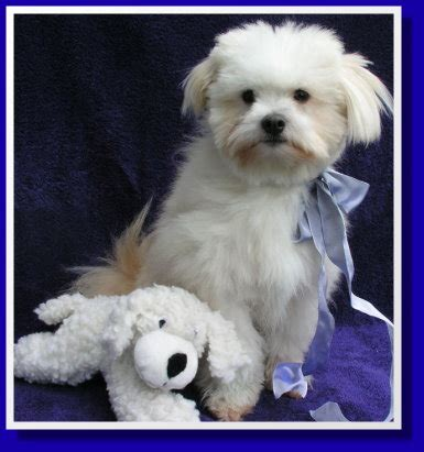 pomeranian rescue washington state maltese cross in washington state maltese dogs forum spoiled maltese forums