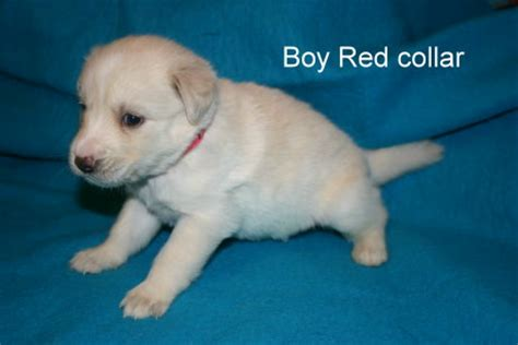 goberian puppies for adoption view ad goberian puppy for sale florida davenport