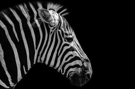 zebra  stock photo public domain pictures