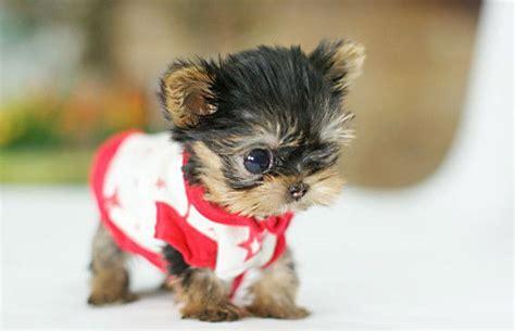 yorkie terrier mini en adopcion imagenes de perros terrier fotos de perritos tiernos