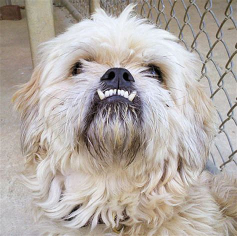 what does a shih tzu chihuahua look like shih tzu overbite breeds picture