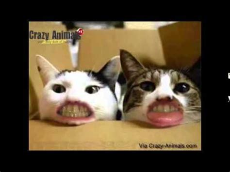Weird Laughing Cats   funny crazy animals,crazy cats   YouTube