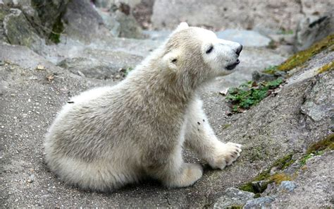 two polar bears in a bathtub watch this adorable baby polar bear try to get his mom s attention travel leisure