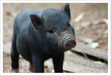 teacup pigs  pets pets familiescom
