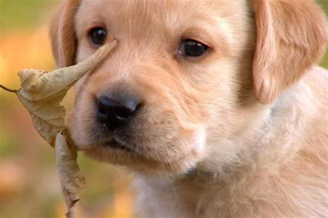 puppy planet these are the cutest labrador puppy pictures the most adorable and labrador
