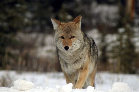 images of a coyote coyote wallpapers backgrounds