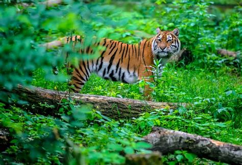 Smart Home Network Design by Tigers Still Have Enough Habitat To Bounce Back Mnn