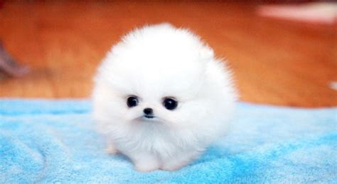 pomeranian tea cups daily slice of tea cup pomeranian youth are awesome