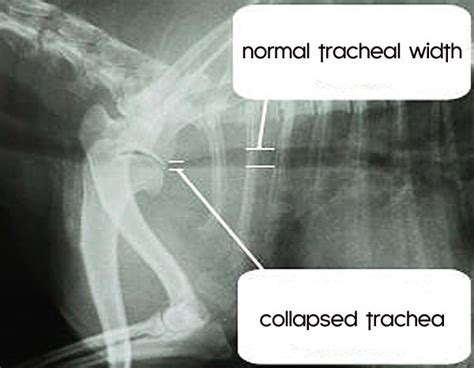 pomeranian health problems collapsing trachea collapsed trachea in dogs related keywords collapsed trachea in dogs
