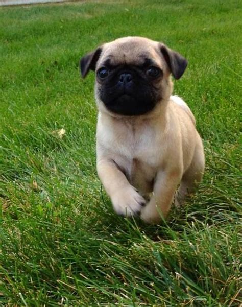 pug puppy rescue 349 best pugs images on animals pug and pug dogs