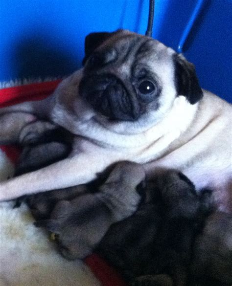 pug information uk with pug puppies www pugs co uk