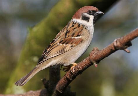 25 innocent and beautiful house sparrow