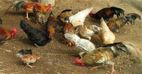 Bibit Ayam Pedaging Per Ekor rumah hijau organik budidaya ternak ayam kung