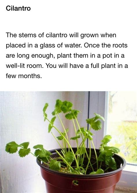 vegetables u can regrow musely