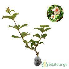 Tanaman Jade Vine tanaman jade vine emerald vine bibitbunga