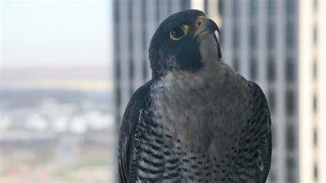 what is it about falcons woodmenlife woodmenlife