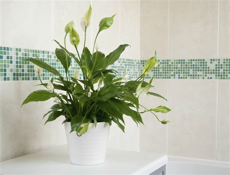 plants to keep in bathroom 6 ideal plants you should keep in the bathroom