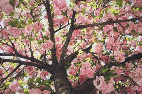 pink spring trees in bloom blooming pinterest