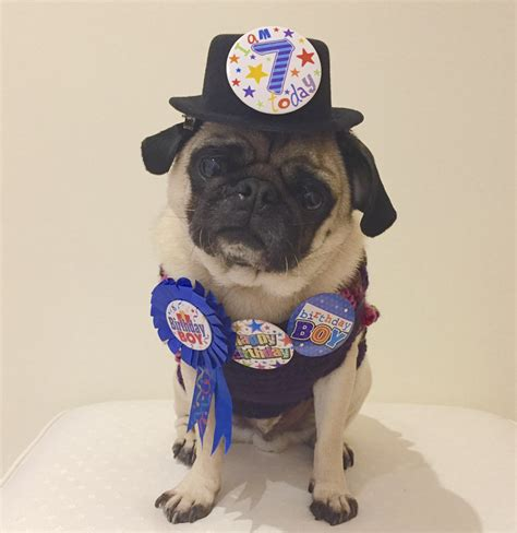pugs as therapy dogs social pug profile doug the pug therapy the pug diary