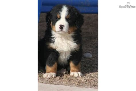 bernese mountain utah mountain view cur puppies for sale the mountain view cur puppies for breeds picture