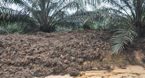 cara membuat minyak kelapa beserta gambar cara membuat pakan sapi dari pelepah sawit alternatif