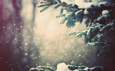 branch wallpaper snowy fir branches wallpaper