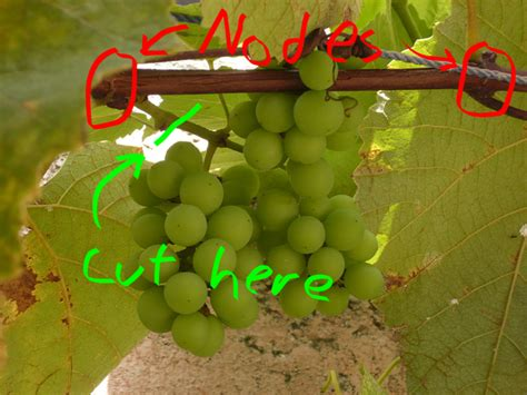 is it possible to take grapes from a store and grow a grape vine from the part that the grapes