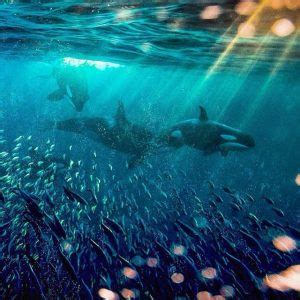 photographing wild by paul nicklen beauty with a cause