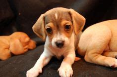 havanese beagle mix 1000 images about potential puppies on teacup maltipoo beagle mix and