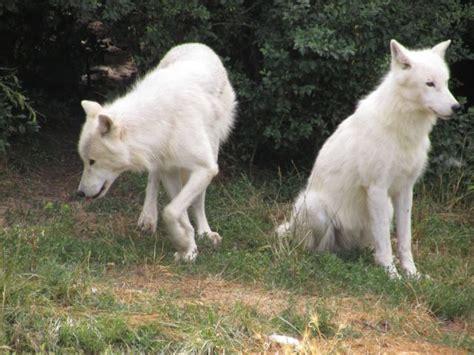 1325307793 loups et louveteaux du canada les loups