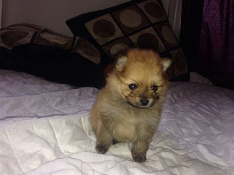 pomeranian breeders chicago pomeranian puppies for rehoming breeds picture