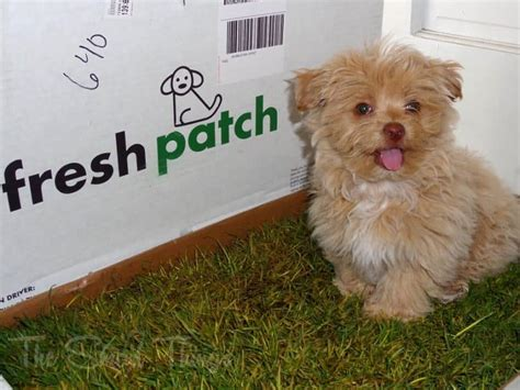 grass patch for dogs puppy pads a beginner s guide on how to the best products to housetrain