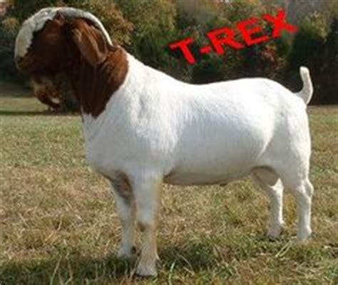 1325311170 elevages des pyrenees decouvrez collateral damage ennobled able acres boer goats