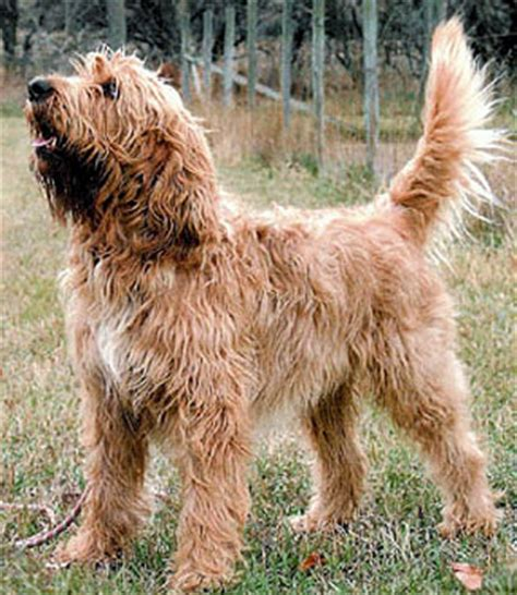 otterhound puppies for sale usa otterhound breeders grooming puppies reviews articles muamat
