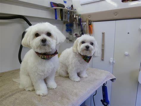maltese puppy haircuts picture of maltese grooming styles 17 best images about grooming styles maltese
