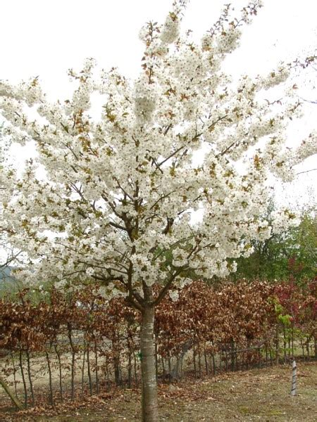 blushing flowering cherry trees for sale