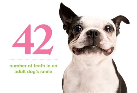 how many teeth do puppies pin by petplan pet insurance on pet stats