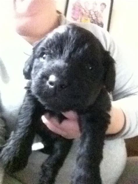 yorkie poo for sale in uk yorkie poo puppies for sale in hshire uk