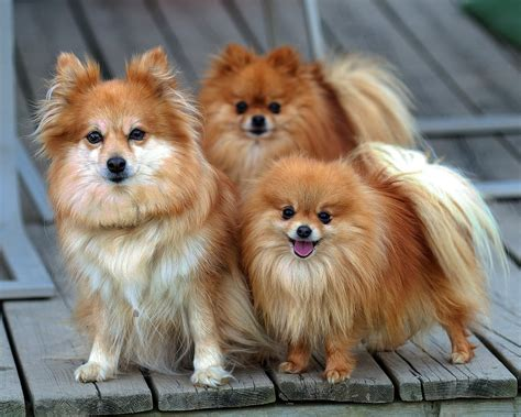 all puppies pomeranian all small dogs wallpaper 18774592 fanpop