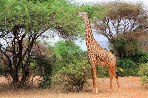 imagenes con jirafas las jirafas ya se encuentran en peligro de extinci 243 n