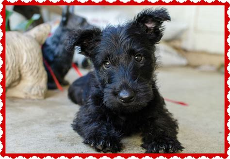 black hair salons in florissant mo photos scottish terrier and news photos scottish terrier