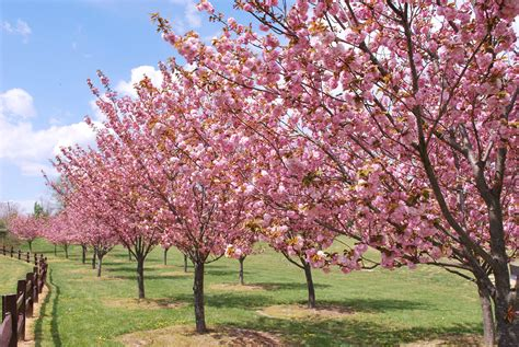 kwanzan cherry tree care landscape designs for your home
