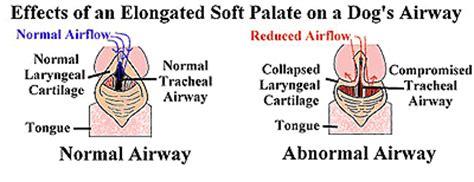elongated soft palate in pugs elongated soft palate in brachycephalic breeds