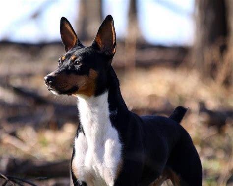standard rat terrier puppies for sale seegmiller standard rat terriers breeder profile review ratings seegmiller