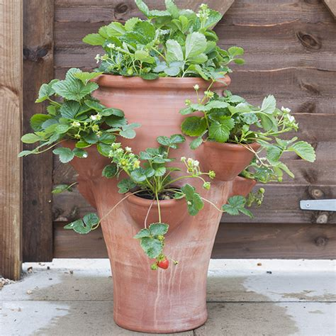 Terracotta Garden Planters by Buy Terracotta Strawberry Planter Delivery By Waitrose