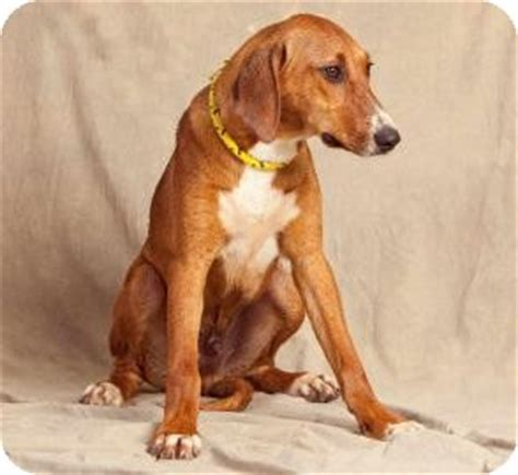 golden retriever rescue buffalo ny om adopted puppy buffalo ny foxhound golden retriever mix
