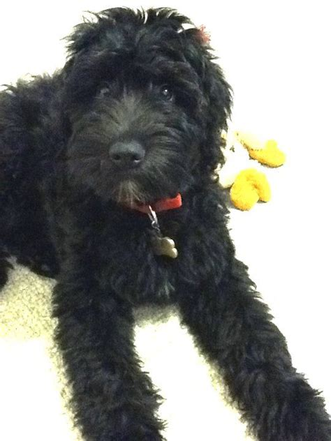 whoodle puppies whoodle wheaton terrier and poodle puppies dreams dogs doggies breeds picture